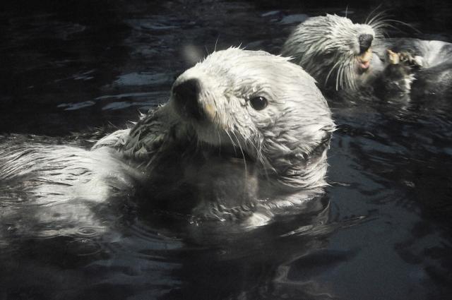 水族館からラッコが消える?!絶滅危惧種ラッコ、人類の絶滅危機は?